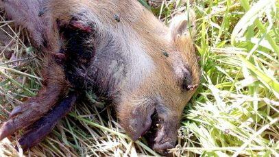 Chasse ou massacre dans le Gard ? Le cadavre abandonné d'un marcassin soulève l'indignation dans le monde des chasseurs gardois.