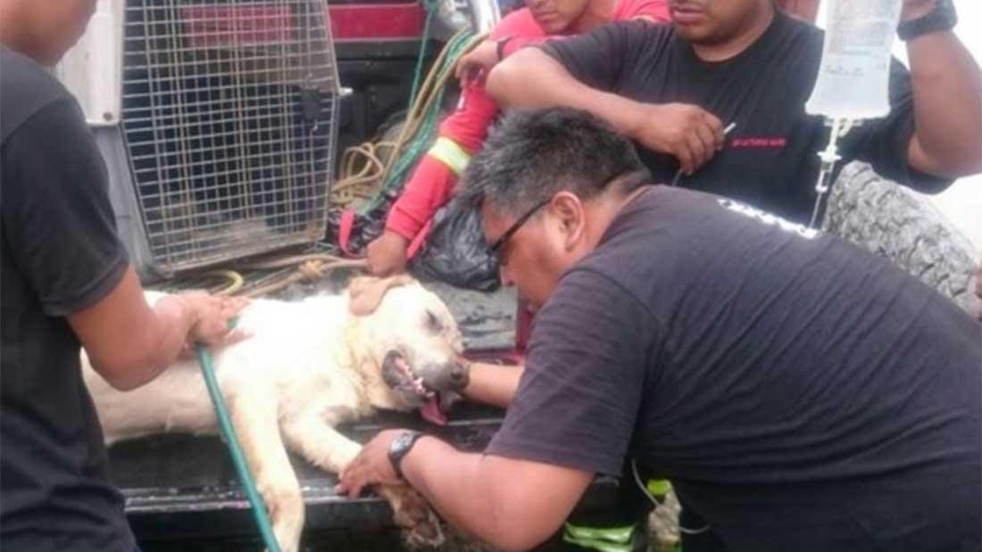 Dayko le Labrador recevant les premiers secours d'urgence après s'être effondré au milieu des décombres