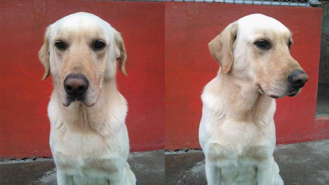 Dayko, héros malgré lui un chien que les secouristes d'Equateur noublieront pas