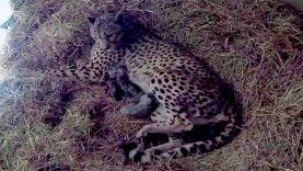 Naissance de 4 bébés guépards