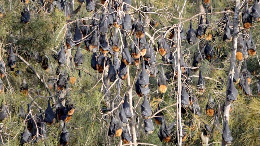 100 000 chauve-souris installées à Batemans Bay