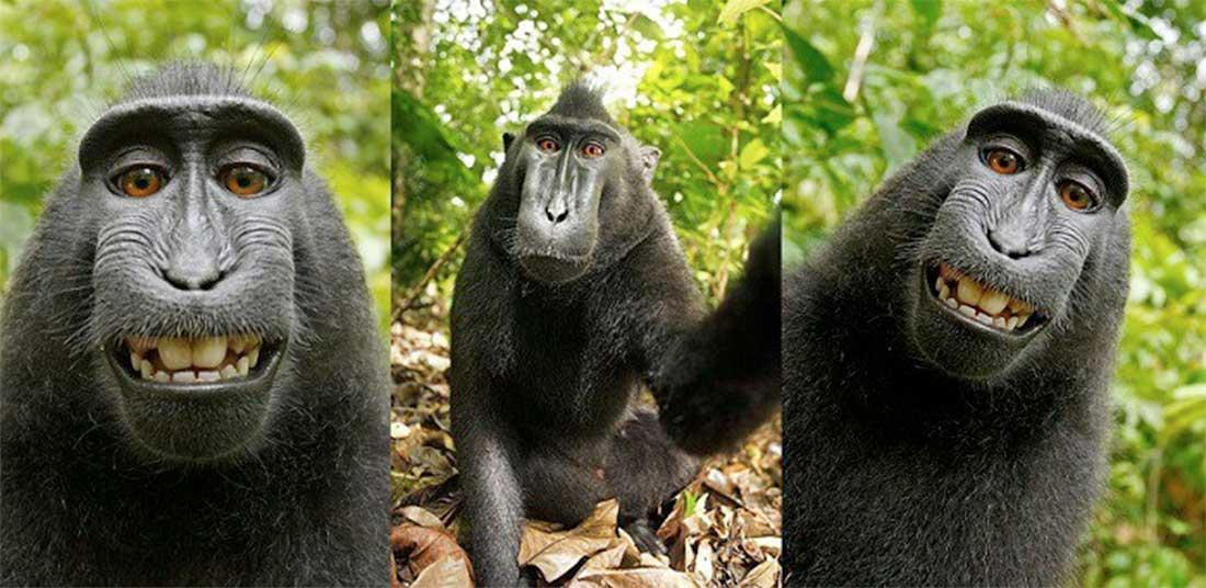 Trois selfies par Naruto, une macaque souriante