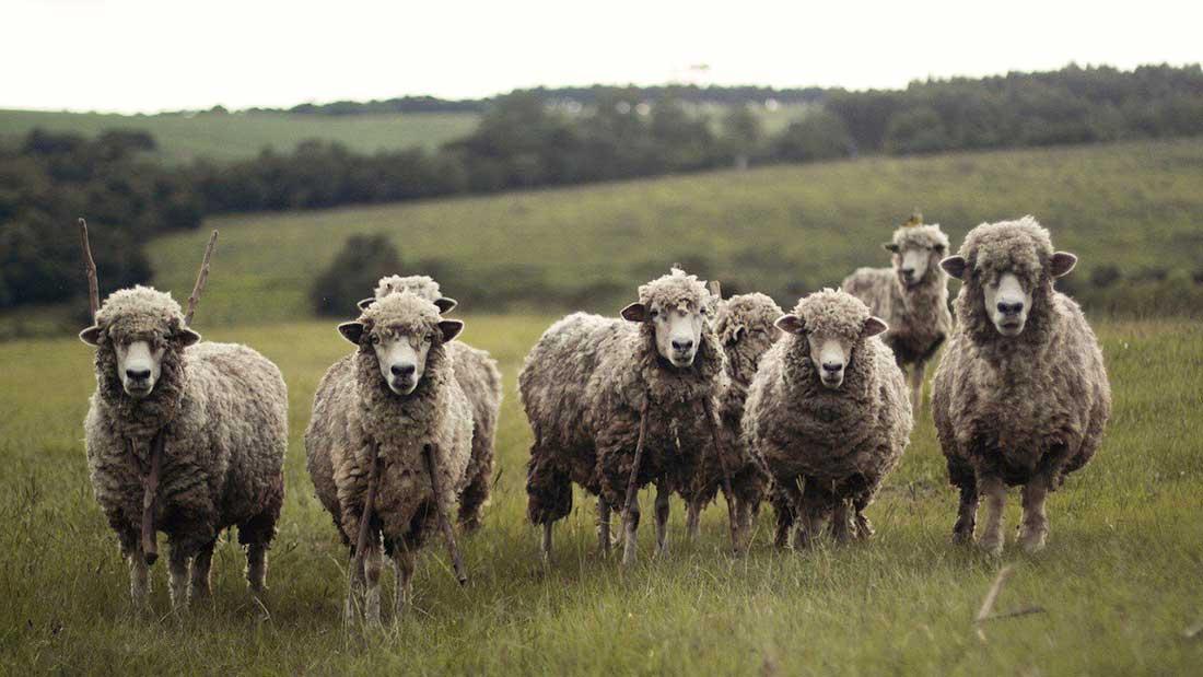Brexit - soyons des moutons