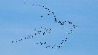 des oies sauvages dessinent en vol un symbole de paix