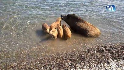 Une famille de sangliers à la plage de Cerbère