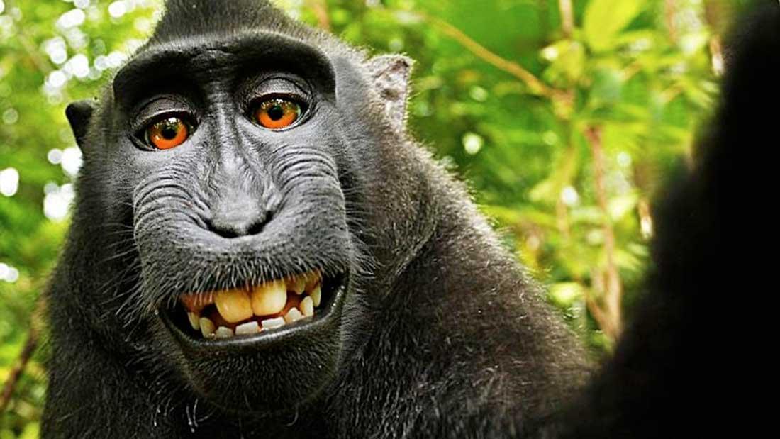 Selfie par un singe © David Slater
