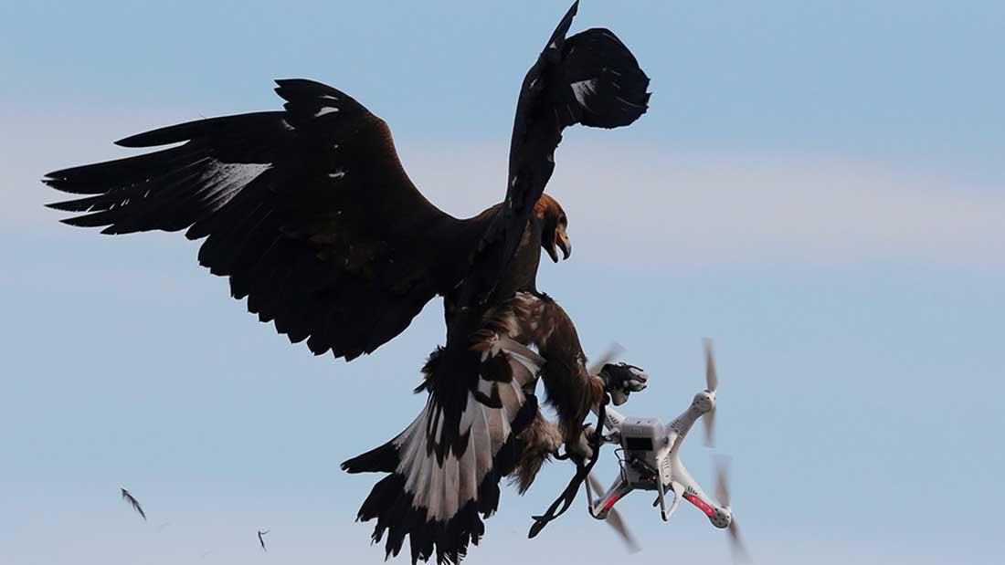 aigle-vs-drone-france