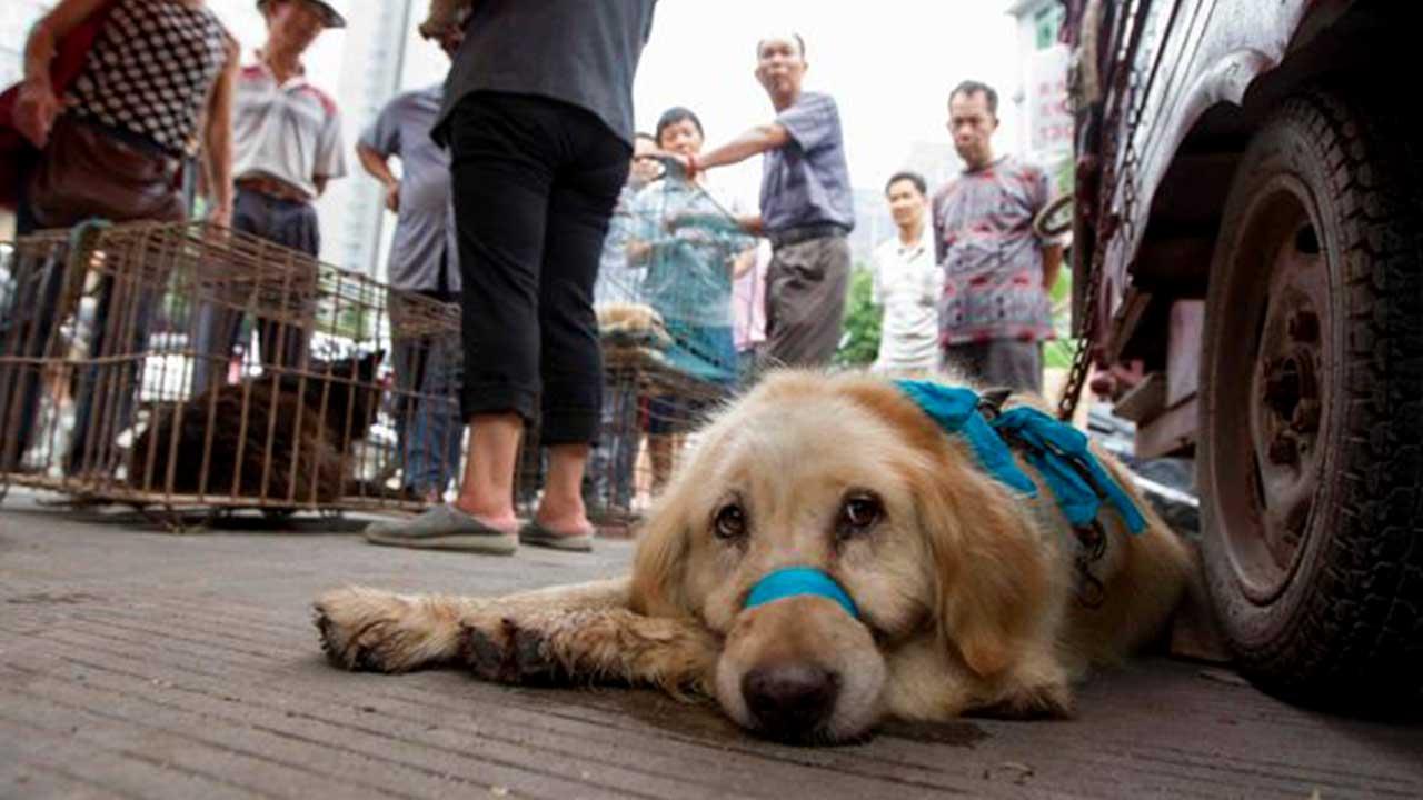 Suite au coronavirus, les autorités de Shenzhen au sud de la Chine ont déclaré que l'interdiction de manger des chiens et des chats entrerait en vigueur le 1er mai