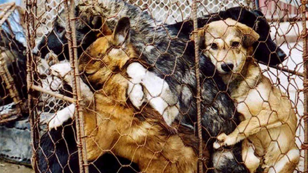 En Chine, au festival de Yulin, les massacres de chiens pour les déguster sont prisées par la population, mais dans des conditions sanitaires de tueries digne du moyen-âge insupportables pour Shenzhen